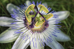 Flor blanca de la pasionaria - pasionaria imagenes de archivo