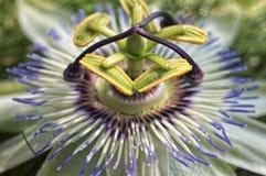 Flor blanca de la pasionaria - pasionaria Imágenes de archivo libres de regalías