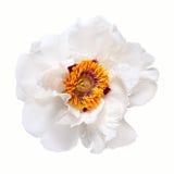 Flor blanca de la peonía Foto de archivo