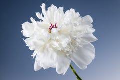 Flor blanca de la peonía Imagenes de archivo