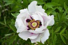 Flor blanca de la peonía Fotografía de archivo
