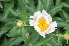 Flor blanca de la peonía con una mariquita y una abeja en el pétalo Fotografía de archivo libre de regalías