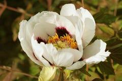 Flor blanca de la peonía del árbol Peonía que crece en el jardín, fondo floral Flor del resorte Imagen de archivo