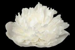 Flor blanca de la peonía en fondo negro Imágenes de archivo libres de regalías