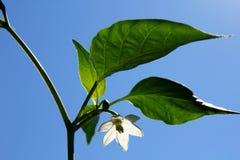 Flor blanca de la pimienta de chile Foto de archivo libre de regalías