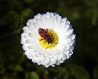 Flor blanca de la primavera Foto de archivo libre de regalías