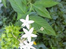 Flor blanca de la pureza Fotos de archivo libres de regalías