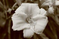 Flor blanca de la sepia Fotografía de archivo libre de regalías