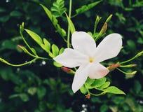 Flor blanca de la vid Fotos de archivo libres de regalías