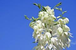 Flor blanca de la yuca Imagen de archivo libre de regalías