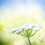 Flor blanca de la zanahoria salvaje en fondo de la primavera Foto de archivo