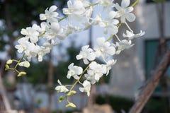 Flor blanca de las orquídeas Foto de archivo libre de regalías