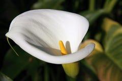 Flor blanca de Lilly de la cala Fotografía de archivo