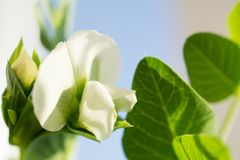 Flor blanca de los guisantes en azul imágenes de archivo libres de regalías