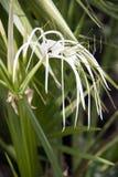 Flor blanca de los littoralis de los hymenocallis en el árbol Flor del lirio de la araña de la playa en el color blanco fotos de archivo libres de regalías