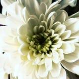 Flor blanca de mi jardín fotos de archivo libres de regalías
