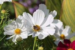 Flor blanca de polinización del cosmos de la abeja Fotografía de archivo