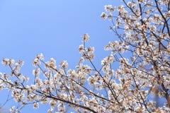 Flor blanca de Sakura Fotografía de archivo libre de regalías