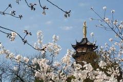 Flor blanca de Sakura Imagen de archivo libre de regalías