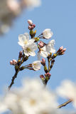 Flor blanca de Sakura Foto de archivo