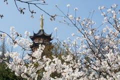 Flor blanca de Sakura Fotos de archivo