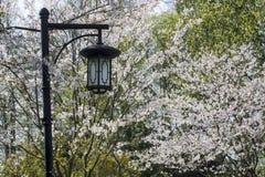 Flor blanca de Sakura Imagen de archivo