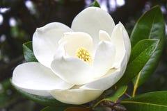 Flor blanca de una magnolia Fotografía de archivo libre de regalías
