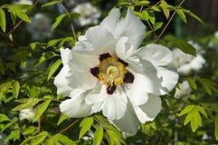 Flor blanca del árbol de la peonía Foto de archivo