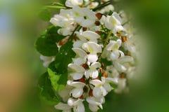 Flor blanca del acacia Imagenes de archivo
