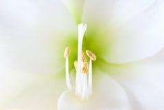 Flor blanca del amaryllis Foto de archivo libre de regalías