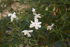 Flor blanca del arbusto del grandiflorum del Jasminum fotografía de archivo