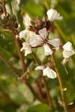 Flor blanca del Arugula Fotos de archivo libres de regalías