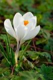 Flor blanca del azafrán Imágenes de archivo libres de regalías