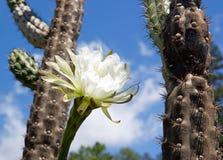 Flor blanca del cactus Imagenes de archivo