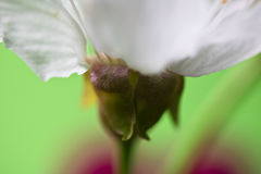 Flor blanca del cerezo de la primavera macra hermosa como fondo abstracto Imagenes de archivo