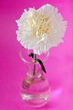 Flor blanca del clavel Fotografía de archivo libre de regalías