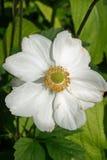 Flor blanca del clematis Fotos de archivo libres de regalías