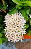 Flor blanca del coccinea del ixora Fotos de archivo