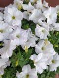 Flor blanca del color con las hojas verdes Fotos de archivo