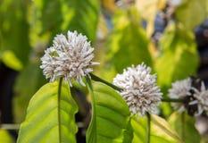 Flor blanca del color del flor del café del cafeto imágenes de archivo libres de regalías