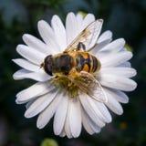 flor blanca del flor con la abeja en el jardín Fotos de archivo