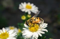 flor blanca del flor con la abeja en el jardín Fotografía de archivo libre de regalías