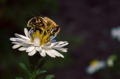 flor blanca del flor con la abeja en el jardín Imagen de archivo
