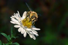 flor blanca del flor con la abeja en el jardín Foto de archivo libre de regalías