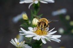 flor blanca del flor con la abeja en el jardín Imagenes de archivo