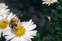 flor blanca del flor con la abeja en el jardín Fotos de archivo libres de regalías