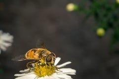 flor blanca del flor con la abeja en el jardín Imágenes de archivo libres de regalías