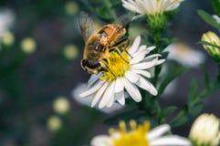 flor blanca del flor con la abeja en el jardín Foto de archivo