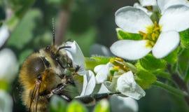 flor blanca del flor con la abeja en el jardín Imagen de archivo libre de regalías