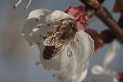 flor blanca del flor con la abeja en el jardín Fotografía de archivo